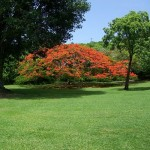 Flamboyant Tree